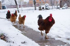 Chickens in winter Royalty Free Stock Photos