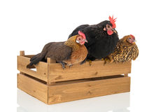 Chickens on wooden crate Royalty Free Stock Photo