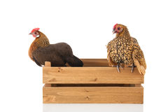Chickens on wooden crate. Bantam chickens on wooden crate isolated over white background Royalty Free Stock Images