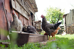 Chickens in the yard Royalty Free Stock Image