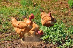 Chickens in yard searching for food Stock Photography