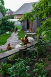 Chickens in the yard sit on the bench and walk along the path. Chickens in the yard sit on the bench and walk along the path royalty free stock photography