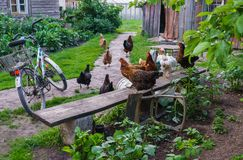 Chickens in the yard sit on the bench and walk along the path.  stock photography