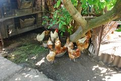 Chickens in the yard at the village house, countryside stock images