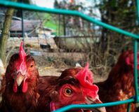 Chickens in the yard Royalty Free Stock Images