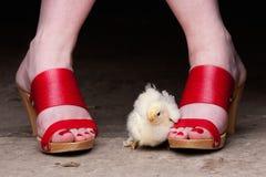 Chickie en belemmeringen Stock Fotografie