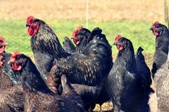 Chickings nel sole 2017 fotografia stock