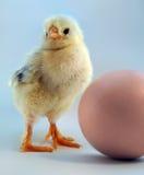 Chickling velho de cinco dias e ovo Fotos de Stock