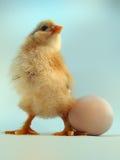 Chickling velho de cinco dias e ovo Fotografia de Stock Royalty Free