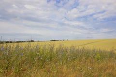Chickory blommor och kornfält Fotografering för Bildbyråer