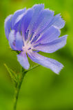 Chickory, wildflower, ochtenddauw Stock Fotografie