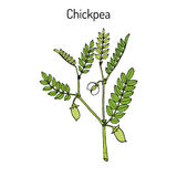 Chickpea Cicer arietinum , or bengal gram, garbanzo bean, egyptian pea. Hand drawn botanical vector illustration Stock Images