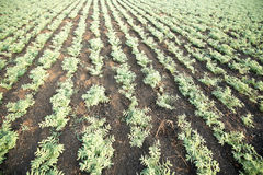 Chickpea crop field Stock Photo
