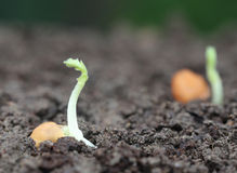 Chickpea seedling Stock Photography