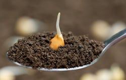 Chickpea seedling Stock Photos
