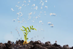 Chickpea sprout being irrigated. Isolated in out of focus, with some white clouds, blue sky Stock Photos