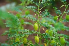 Chickpea uprawy pole Fotografia Royalty Free