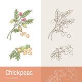 chickpeas απεικόνιση αποθεμάτων