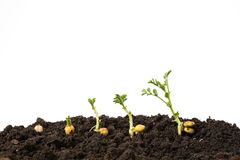 Chickpeas germination in soil isolated on white background Royalty Free Stock Photos