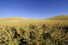 Chickpeas ready for harvest in the Palouse of Idaho Stock Photo