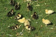 Chicks. Young chicks on grass stock image