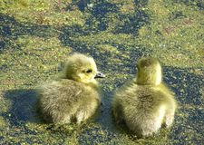 Chicks. Two Canadian geese chicks in a marsh Royalty Free Stock Photography
