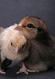 Chicks. Baby Banty rooster and Araucana hen Royalty Free Stock Photo