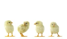 Chicks Stock Image