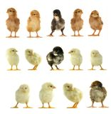 Chicks. On a white background Royalty Free Stock Photography