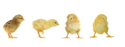 Chicks Stock Image