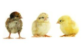 Chicks Royalty Free Stock Image
