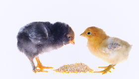 Chicks. Stock Image