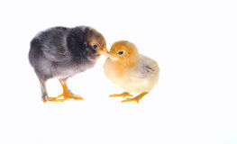 Chicks. Stock Photos