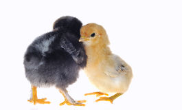 Chicks. royalty free stock photography