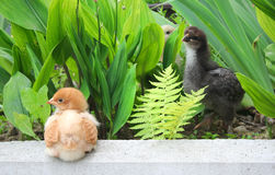 Chicks Royalty Free Stock Image
