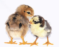 Chicks. Stock Photo
