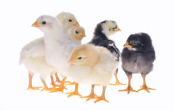 Chicks. Royalty Free Stock Photo