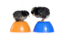 Chicks Stock Photo