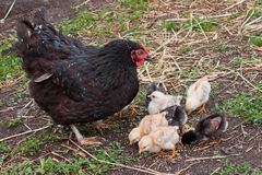 Chicks. A group chicks at farm. Mother and her babies Stock Images