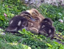 Chicks. Mallard chicks in a huddle Royalty Free Stock Images