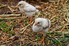 Chicks Royalty Free Stock Photos