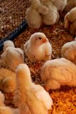 Newl Hatched Chicks. Newly hatched chicks surrounding one alert chick Stock Photography