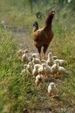 Chicks Royalty Free Stock Photo