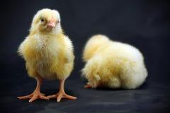 Chicks. Two little chicken on dark background stock image