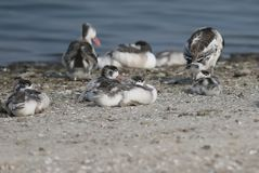 Chicks  shelduck on the rest Royalty Free Stock Photos