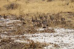 Chicks African ostrich, Etosha National Park, Namibia Stock Photo