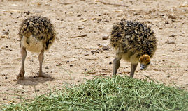 Chicks of African ostrich (Struthio camelus) Stock Photo