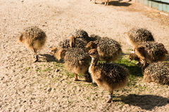 Chicks African ostrich walking on summer day royalty free stock image