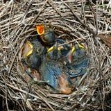 Chicks. Barred Warbler, Sylvia nisoria. Royalty Free Stock Image