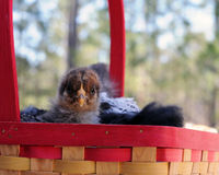 Chicks in a Basket Royalty Free Stock Photography